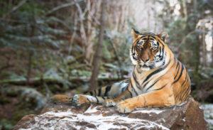 Wiejskie tygrysy Biuro podróży Goforworld by Kuźniar