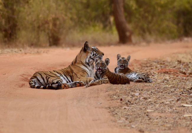 Nadzieja dla tygrysów Biuro podróży Goforworld by Kuźniar