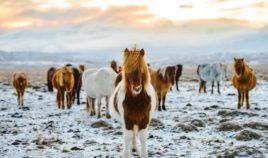 Sekret islandzkich koników Biuro podróży Goforworld by Kuźniar